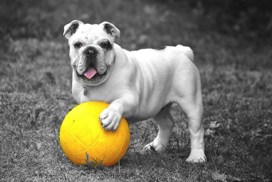 Bulldog 601714 1280